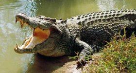 Mơ thấy cá sấu đánh đề số mấy? Giải mã giấc mơ thấy cá sấu