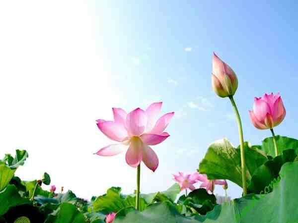 Mơ thấy hoa sen là điềm lành hay dữ, nên ghi đề con gì?