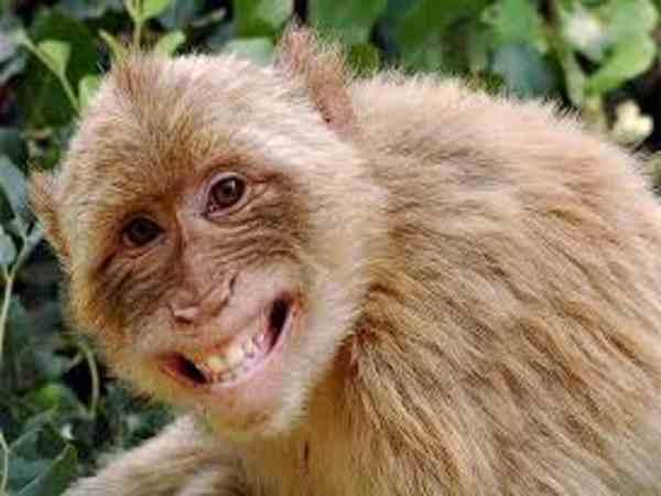 Mơ thấy khỉ là điềm báo gì, nên đánh đề số nào chắc trúng?