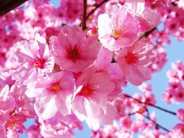 Mơ thấy hoa đào là điềm gì? Đánh liền tay con số mấy?
