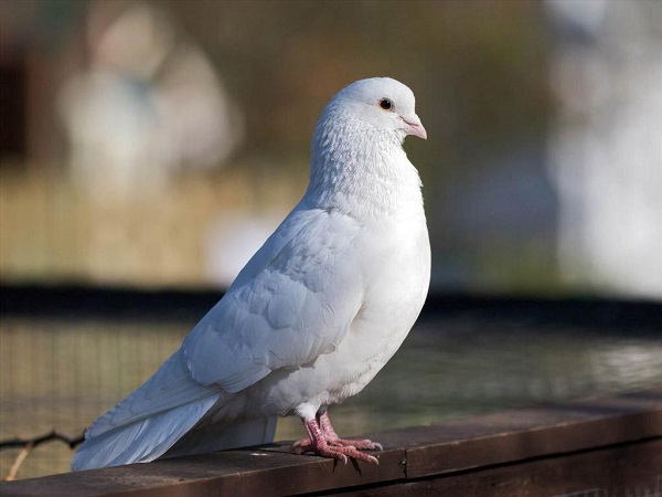 Giải mã giấc mơ thấy chim bồ câu điềm báo tốt hay xấu? Đánh con gì?