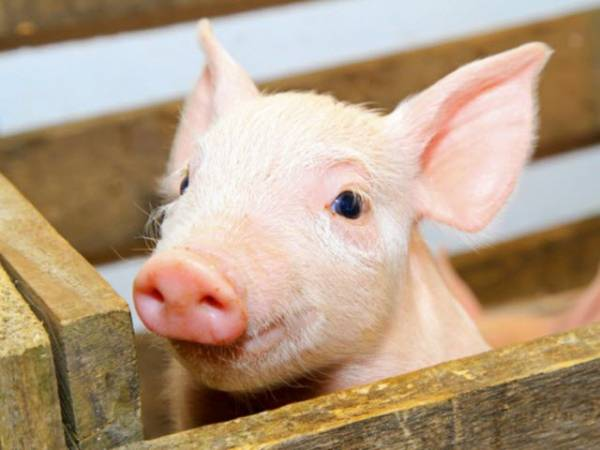 Nằm mơ thấy con lợn chơi xổ số con gì may mắn