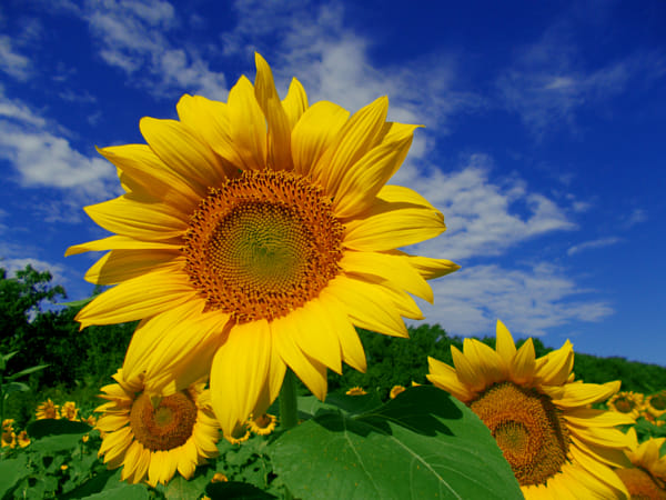 Phân tích ý nghĩa giấc mơ thấy hoa hướng dương đánh con gì?