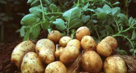 Nằm mơ thấy củ khoai tây đánh con gì, số mấy chắc ăn