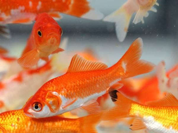 Mơ thấy cá vàng báo mộng điềm gì? Cá vàng là số mấy?