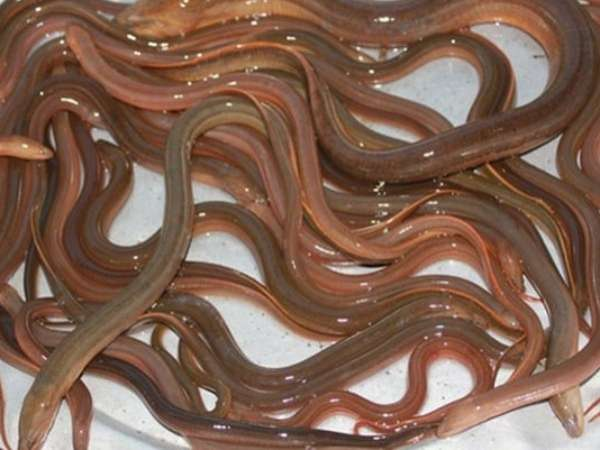 Chiêm bao mơ thấy lươn đánh số mấy? Là điềm gì ?