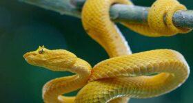 Mơ thấy rắn vàng – Đánh lô số mấy ? Là điềm báo gì ?